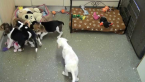 ,Pôvabné Beagle šteňatá nový domov