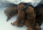 ,French bulldog puppies for sale