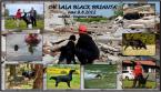 Retrívre, sliediče a vodné psy,FLAT COATED RETRÍVER