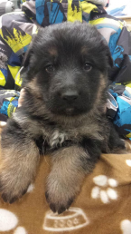 psík v 4týždni veku