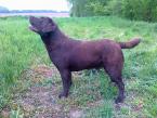 ,Čokoládový labrador - krytie