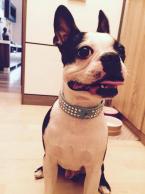 Spoločenské a sprievodné psy,BOSTONSKÝ TERIÉR