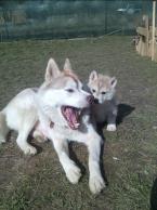 ,Predáme šteniatko-fenku sibírsky husky