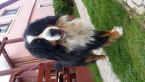 ,Bernský salašnický pes na krytie