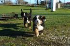 ,Bernský salašnický pes - štěňata s PP