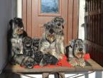 Pinče, bradáče, molosoidy a švajčiarske salašnícke psy,BRADÁČ SREDNÝ
