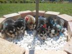 ,Sibírsky husky- šteniatka- rezervácia