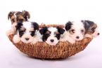 ,Biewer yorkshire terrier