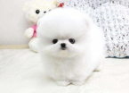 ,Mini Pomeranian štěňata