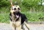 ,LUCKY silný a sebavedomý psík mix nemecký ovčiak