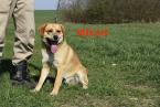 ,MILAN mladý mix bígl x labrador veľký dobrák
