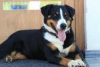 ,Krytie appenzellského salašníckeho psa