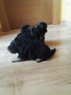 Spoločenské a sprievodné psy,TIBETSKÝ ŠPANIEL