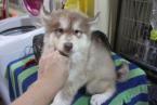,Vynikajúci sibírska Huskies pre starostlivosť domovov