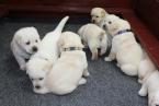 ,Labrador - šteniatka s rodokmeňom pôvodu