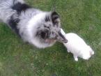 Ovčiaky a pastierske psy,ŠELTIA