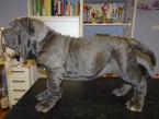Pinče, bradáče, molosoidy a švajčiarske salašnícke psy,NEAPOLSKÝ MASTIN