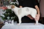 ,Barzoj - Ruský chrt - šteniatka