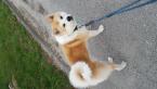 ,Ponukam na krytie psa Akita Inu (2 roky) bez PP.