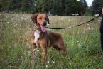 ,Viktor - poľovnícky psík