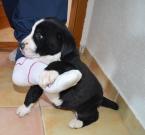 ,Lacno predám krížence bernského salašníckeho psa