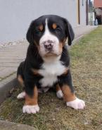 ,Velký švýcarský salašnický pes