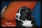 , Americký stafordšírsky teriér - top šteňatá