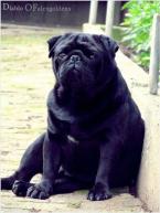 Spoločenské a sprievodné psy,MOPS