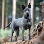 ,Thajský ridgeback – modré šteniatko s PP.