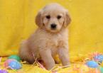 ,zlatý retriever šteňa