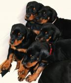 Pinče, bradáče, molosoidy a švajčiarske salašnícke psy,DOBERMAN