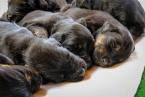 Pinče, bradáče, molosoidy a švajčiarske salašnícke psy,HOVAWART