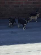 Spoločenské a sprievodné psy,ČIVAVA
