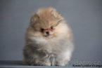 ,Pomeranian-prodám pejska s PP