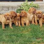 ,Dogue de Bordeaux puppies