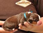 ,Appenzellský salašnický pes