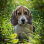 ,Beagle na ktytie