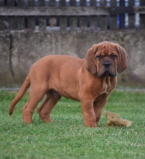 , Šteňatá Dogue de Bordeaux