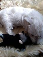 ,Westík - West Highland White Terrier - sučka
