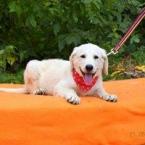 ,Samantha perfektné šteniatko kríženec čuvač a labrador