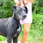 ,Saxana verný strážca rodinný psík nemecká doga