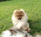 ,Pomeranian-prodám štěňátka s PP