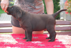 ,Labradorský retriever, čokoládový pejsek s PP