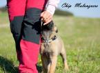 Ovčiaky a pastierske psy,BELGICKÝ OVČIAK