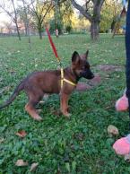 ,šteniatka nemeckého ovčiaka