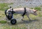 ,Hľadám invalidný vozík pre labradora