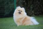 ,Pomeranian, prodám fenky s PP
