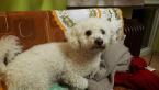Spoločenské a sprievodné psy,BIŠÓNIK
