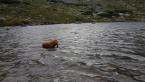 Retrívre, sliediče a vodné psy,ANGLICKÝ KOKERŠPANIEL