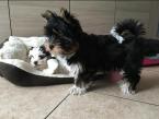 ,Rodokmeň Yorkshire Terrier Šteniatka Vet